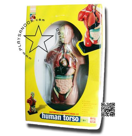 TY-8002-1 ร่างกายจำลอง 50ซ.ม.Human torso