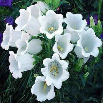 ดอกเบลฟลาวเวอร์ สีขาว 50 เมล็ด/ชุด