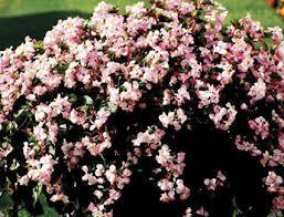Begonia Angel Pink บีโกเนีย แองเจิ้ล พิงค์ / 50 เมล็ด